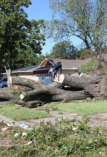 Large trees in storm-damaged neighborhood